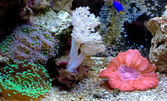 My 20g mainly elegance coral other lps page 3 for Aquarium elegance